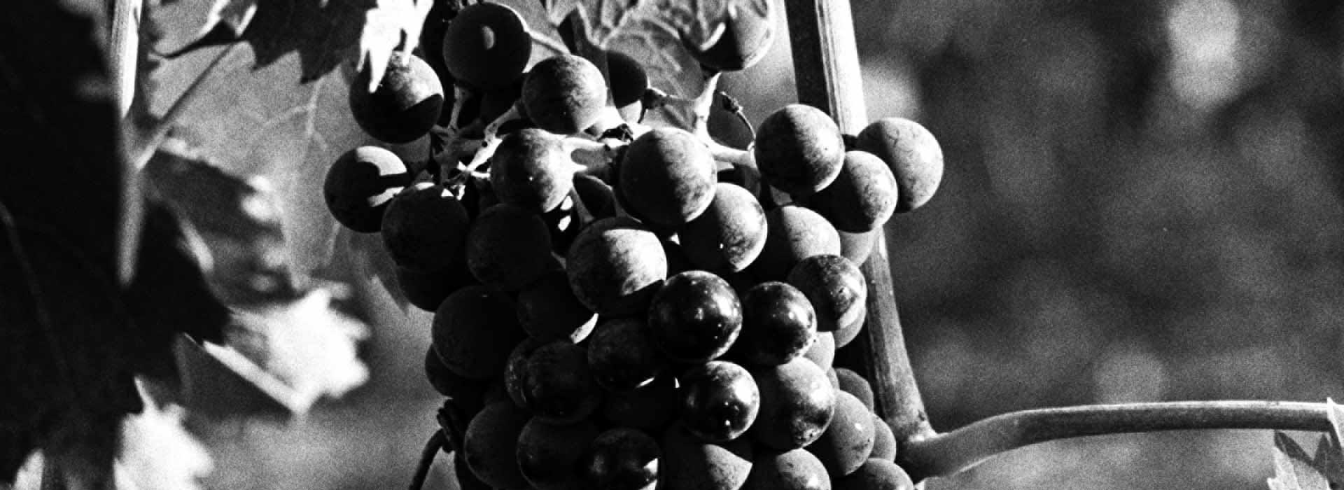 biologico-grappolo-uva