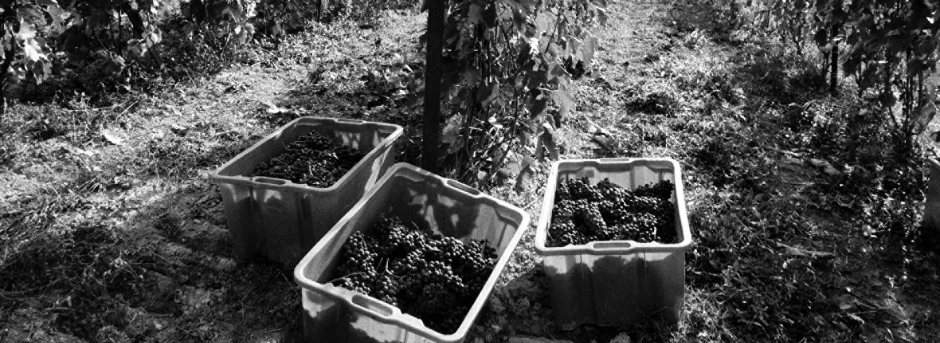 cultivar-valturio-grappoli