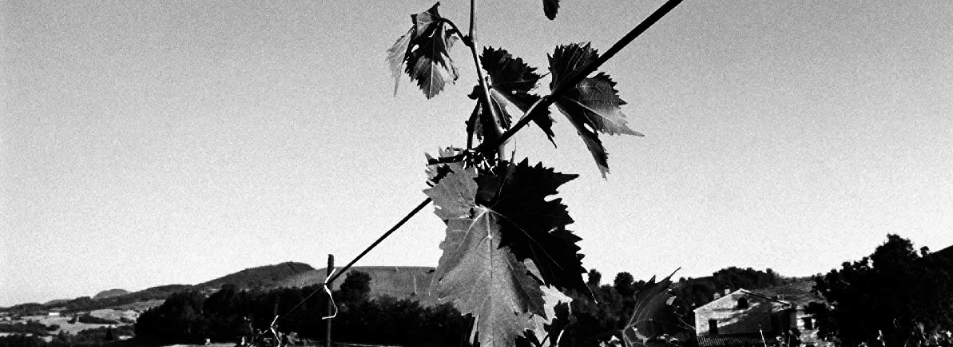 cultivar-valturio-vigneto